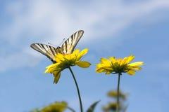 在黄色花的美丽的蝴蝶反对蓝天 库存照片