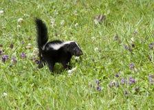 在紫色花的臭鼬 免版税库存照片