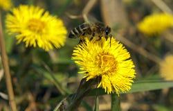 在黄色花的蜂在飞行 图库摄影