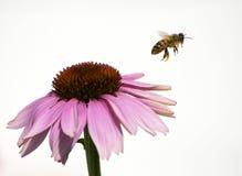 在紫色花的蜂蜜蜂在白色背景 库存照片