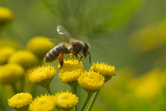 在黄色花的蜂蜜蜂 免版税库存照片
