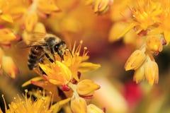 在黄色花的蜂蜜蜂 免版税库存图片