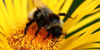 在黄色花的蜂 库存照片