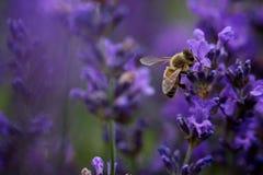 在紫色花的蜂 免版税图库摄影