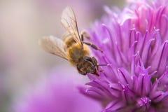 在紫色花的蜂 库存照片