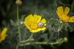 在黄色花的蜗牛 免版税库存照片