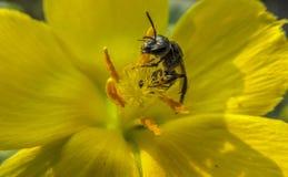 在黄色花的蜜蜂吃花粉的 库存图片