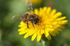 在黄色花的蜜蜂 免版税库存图片