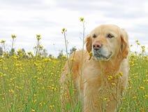 在黄色花的领域的金毛猎犬狗 免版税库存照片