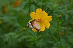 在黄色花的蝴蝶 图库摄影