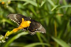 在黄色花的黑,黄色和红色蝴蝶 库存照片