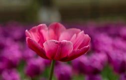 在紫色花背景的桃红色明亮的郁金香  免版税库存图片