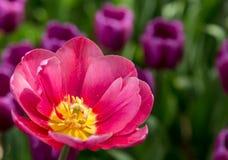 在紫色花背景的桃红色明亮的郁金香  免版税图库摄影