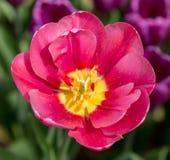 在紫色花背景的桃红色明亮的郁金香  免版税库存照片