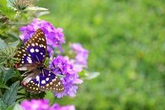 在紫色花背景的蓝色日本国天皇蝴蝶 图库摄影