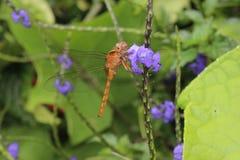 在紫色花补丁的蜻蜓  免版税库存图片