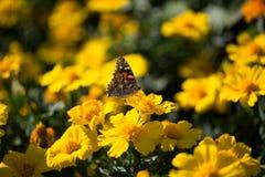在黄色花,夏天的蝴蝶 图库摄影