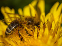 在黄色花,宏指令的关闭的蜂蜜蜂 免版税库存照片