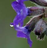 在紫色花,宏指令的Waterdrops 库存图片
