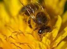 在黄色花,宏指令II的关闭的蜂蜜蜂 免版税库存照片