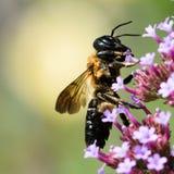 在紫色花II的土蜂 免版税库存图片