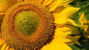 在绿色芽的黄色向日葵关闭掀动 影视素材