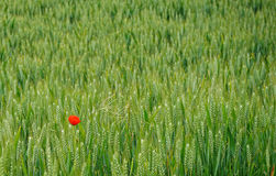 在绿色英国领域的红色鸦片 库存图片
