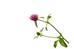 在绿色茎的三叶草花 免版税库存图片