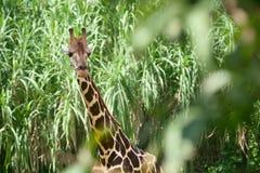 在绿色草丛的长颈鹿 库存照片