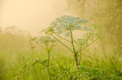 在绿色草坪在早期的有雾的早晨 免版税库存图片