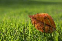 在绿色草坪的一片红色叶子 库存照片