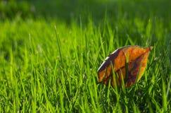 在绿色草坪的一片红色叶子 免版税图库摄影