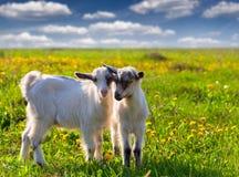 在绿色草坪的两只山羊 图库摄影
