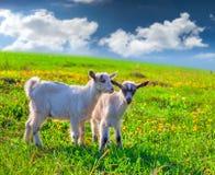 在绿色草坪的两只山羊 库存照片
