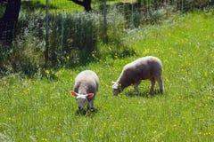 在绿色草坪的两只绵羊 Vernayaz, Martigny,瑞士 免版税库存照片