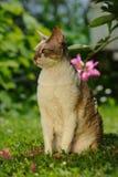 在绿色草坪的康沃尔雷克斯猫在夏天 免版税图库摄影