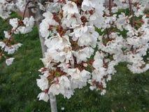 在绿色草坪的开花的樱桃树 免版税库存图片