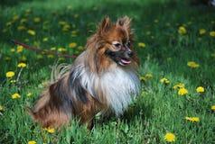 在绿色草坪的德国波美丝毛狗 免版税库存照片