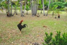 在绿色草坪的战斗公鸡 免版税库存图片