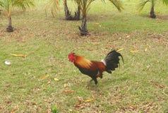 在绿色草坪的战斗公鸡 免版税图库摄影