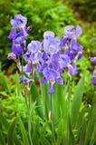 在绿色草坪的明亮的紫色虹膜灌木 免版税库存图片