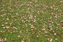 在绿色草坪的枯萎的桃红色喇叭花 库存照片