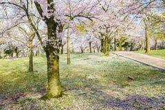在绿色草坪的樱花树 免版税图库摄影