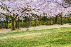 在绿色草坪的樱花树 库存图片