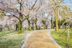 在绿色草坪的樱花树 免版税库存照片