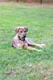 在绿色草坪的流浪狗 库存照片