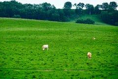 在绿色草坪的白色母牛 免版税库存照片