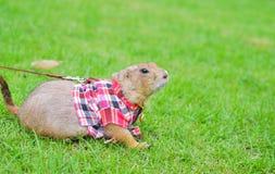 在绿色草坪的草原土拨鼠 图库摄影