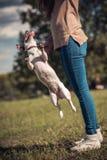 在绿色草坪的跳跃运动罗素狗在女孩旁边 库存图片