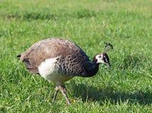 在绿色草坪的Peahen 免版税库存照片